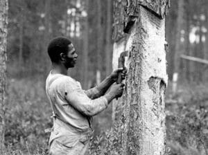 Scraping a tree to make turpentine