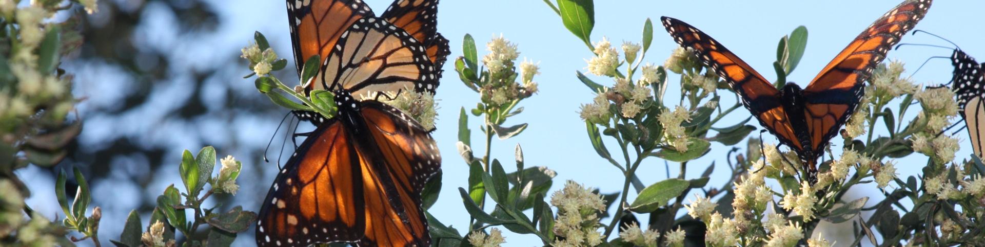 Butterflies in Alligator Point Florida