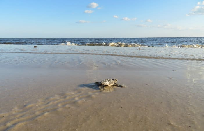 Seaturtle on Alligator Point Beach